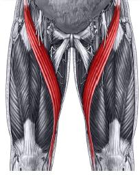 sartorius-muscle